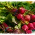 © Karol  Grace PhotoID# 5053387: Radish Bunches